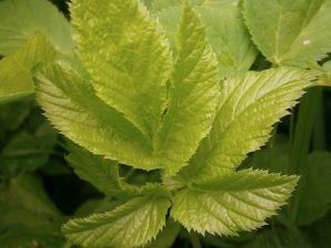 Junge Gierschblätter, Mai 2012 (wächst wild, i. d. R. unbeliebtes Unkraut, man kann Giersch aber wie Spinat oder Salat zubereiten). © Sabine Strätger, no-crab.de