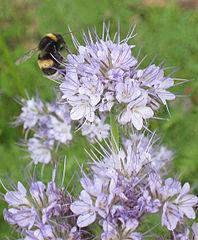 nur wenige Pflanzen sind Selbstbestäuber. Phazelien werden als Gründünger gesät, aber gerade im Sommer ist auf den Blüten dazu noch Hochbetrieb! Auch Hummeln sind Bestäuber ... © 2007 Rasbak Wikimedia Commons CC BY-SA