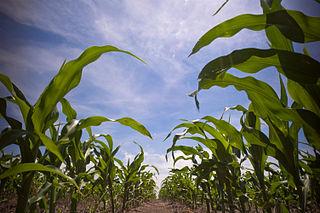 Im Maisfeld (oder: Maisgürtel), Süddakota USA. ©2008 Lars Plougmann CC BY-SA. Wikimedia Commons