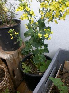 Asiasalat im Juni. Ähnlich wie beim Gelbsenf, riechen die Blüten leicht nach Vanille und locken Insekten an ... Foto CC BY