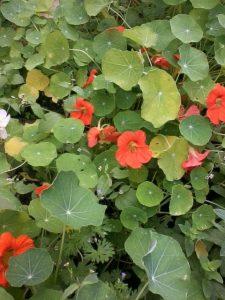 Kapuzinerkresse - Blätter und Blüten sind beliebt im Salat
