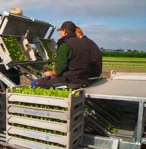 aus dem Lehrfilm: Berufsbild Gemüsegärtner. So wird man Gärtner - Fachrichtung Gemüsebau. Von Markus Tischner / frisbee medien (das Video ist über das Bild verlinkt). Mit der Maschine zu pflanzen, ist effektiv, doch die dabei übliche, gekrümmte Haltung ist ungünstig - ein Nachteil. Gärtner und Azubis lobten aber ihren abwechslungsreichen Beruf, den Umgang mit Natur