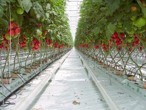 Tomaten wurzeln tief genug, um Nährstoffe und Wasser aus der Erde zu ziehen. Im Freiland, oder unter dem Folientunnel. Das Bild zeigt eine Realität: Anbau auf Steinwolle, mit Nährlösungen und Steuerung per Computer ... Foto: Goldlocki, 2002 CC BY-SA, Wikimedia Commons